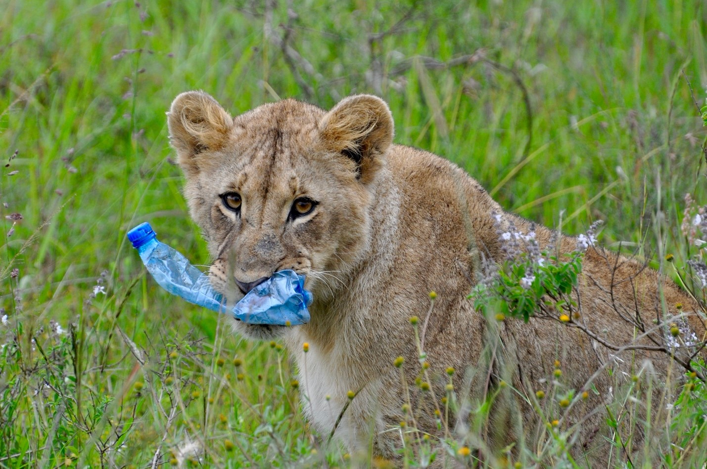 Plastic bottle in lion's mouth